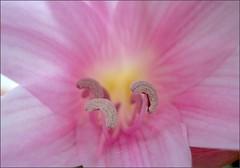 Pink Amaryllis moons
