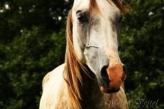 110802 - a gentle breeze (*Maren*) Tags: summer horse norway arab portfolio breeze kristiansand i
