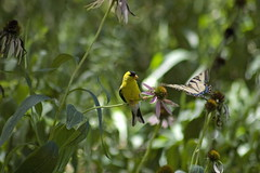 Sunday outing (B Haist) Tags: flower butterfly goldfinch together second split