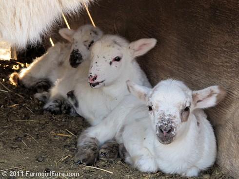 Random lamb snaps 1 - lambing season 2011 - FarmgirlFare.com
