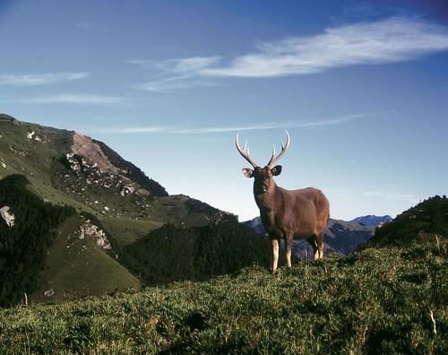劉思沂對台灣水鹿唯美的想像,就是讓水鹿能終老於山林吧!圖片來源:林務局