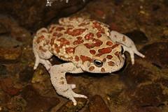 Amietophrynus mauritanicus (David Herrero Glez.) Tags: verde frog toad sapo amphibians comun rana bufo viridis anfibio mauritanicus anuros anures taxonomy:binomial=amietophrynusmauritanicus