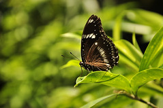 Butterfly (e.nhan) Tags: light green art nature leaves closeup butterfly leaf shadows dof bokeh butterflies enhan