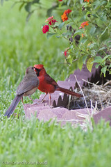 Northern Cardinals JN026588 (JaniceNolan_braud) Tags: bird yard backyard cardinal feeding matingritual northerncardinal matingbehavior