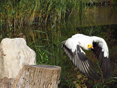 Flying Egyptian Vulture  - Egyptische Aasgier (neophron percnopterus) (JourneySX30) Tags: holland bird nature netherlands birds canon nederland vogels egyptian vulture vogel avifauna neophron percnopterus aasgier egyptische sx30 canonsx30is canonsx30