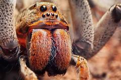 Lycosa erythrognatha (Techuser) Tags: portrait face animal eyes backyard close arachnid wolfspider raynox lycosa canon70300is