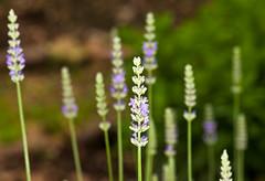 _DSC4434.jpg (aeschylus18917) Tags: flowers flower macro nature japan season spring nikon seasons bokeh  spike saitama  sayama saitamaken 105mm  105mmf28  105mmf28gvrmicro saitamaprefecture  d700 nikkor105mmf28gvrmicro  sayamashi danielruyle aeschylus18917 danruyle druyle