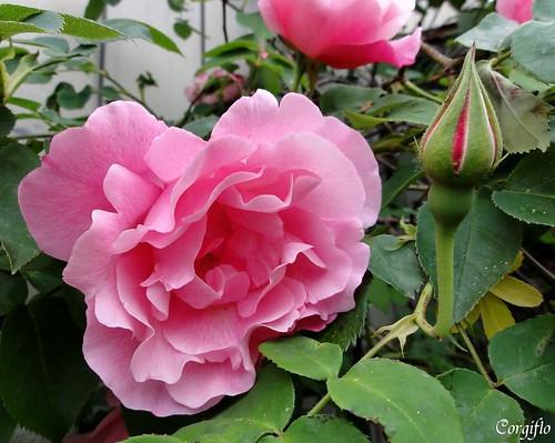 blog-110711-ROSE-2