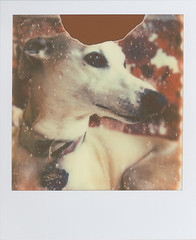 My Beautiful Girl (futurowoman) Tags: dog polaroid sx70 hound whippet beta laika sighthound testshot polaroidweek thelittledoglaughed roidweek impossibleproject theimpossibleproject roidweek2011 px680