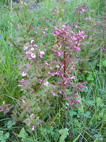 a branched Lousewort (Pedicularis sp.)