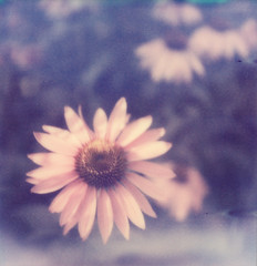 PX70 PUSH: Purple Coneflowers I