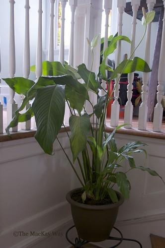 White Sail Plant Flower - Mauna Loa - Spathiphyllum Floribundum - Properly repotted!