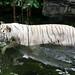 O majestoso Tigre de Bengala BRANCO