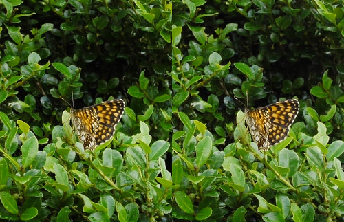 Melitaea protomedia, stereo parallel view