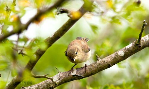 young chiffchaff (i think)