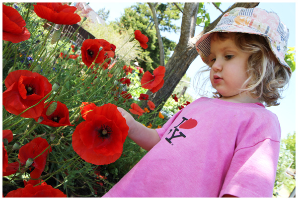 Toddler inspecting Papaver Poppies