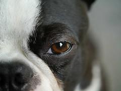 Hunde Augen / Boston Terrier  eye