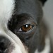 Hunde Augen / Boston Terrier  eye