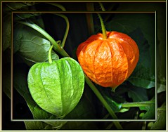 green + orange (true colors!) ( the-best-is-yet-to-come ) Tags: lampionblume abigfave anawesomeshot 100commentgroup coth5 mygearandme mygearandmepremium ringexcellence artistoftheyearlevel3
