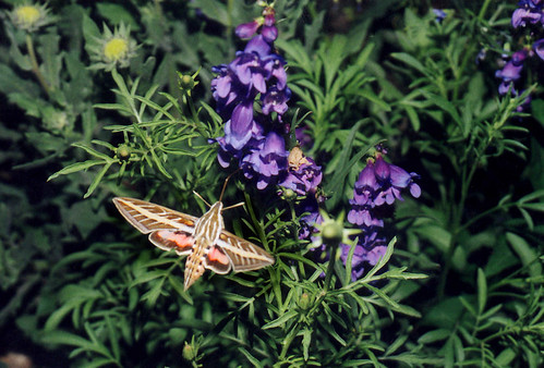 Photo - White Lined Sphinx moth