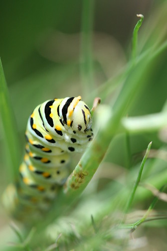 Black swallowtail larva by pdecell