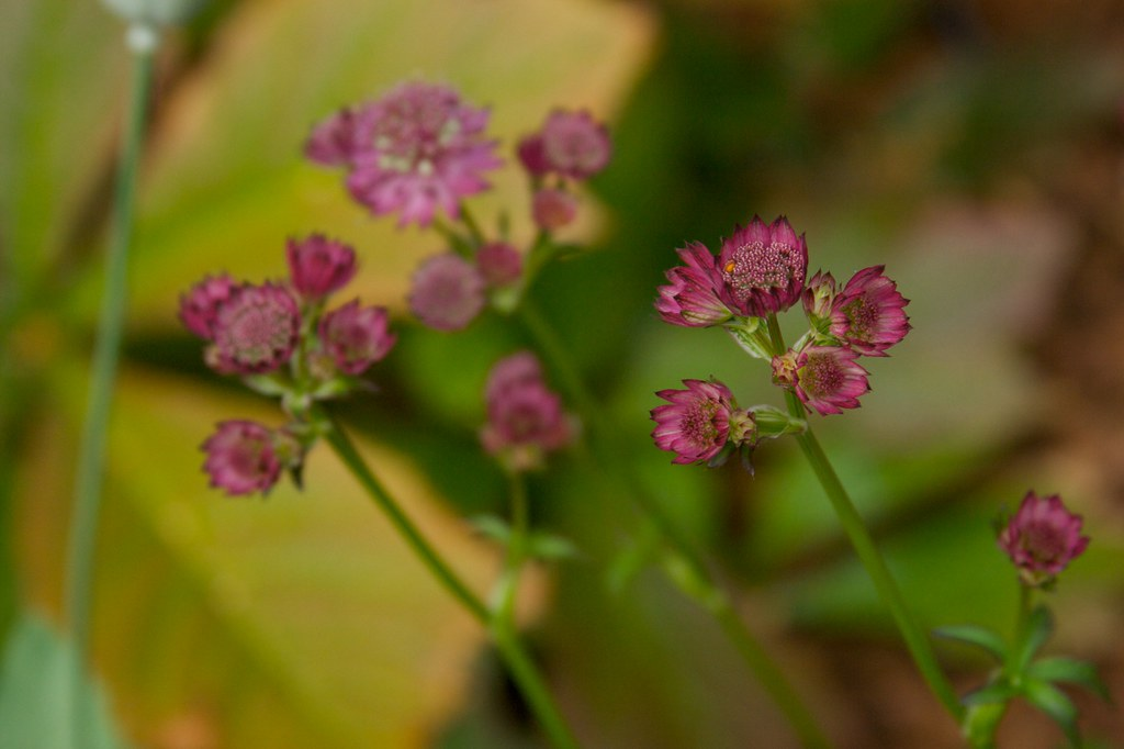 astrantia star of beauty  384