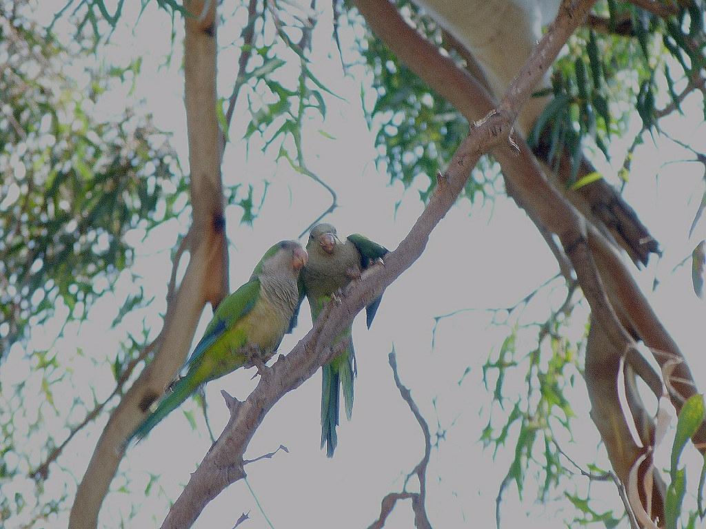 16-07-2011-parrots