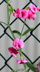 Pink flowers and fence (AndyM.) Tags: pink plant flower nature canon fence bokeh southcarolina chainlink travelersrest 60d 2818mm