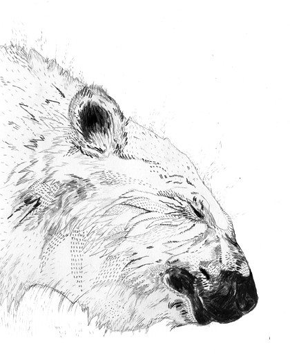 polar bear sketch