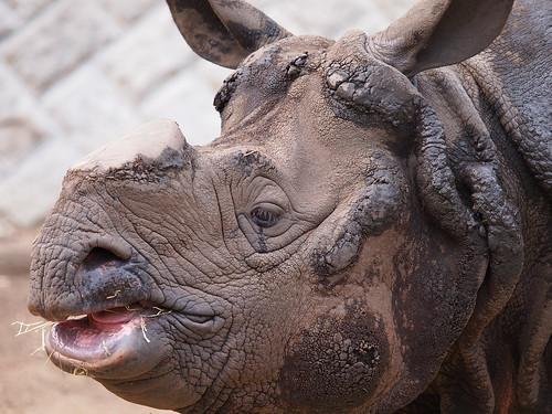 多摩動物公園 インドサイ