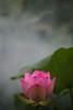 EXPLORED! Lotus Flower - IMG_0149 (Bahman Farzad) Tags: flower macro yoga peace lotus relaxing peaceful meditation therapy lotusflower lotuspetal lotuspetals lotusflowerpetals lotusflowerpetal