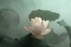 Lotus Flower - IMG_0274-1 (Bahman Farzad) Tags: flower macro yoga peace lotus relaxing peaceful meditation therapy lotusflower lotuspetal lotuspetals lotusflowerpetals lotusflowerpetal