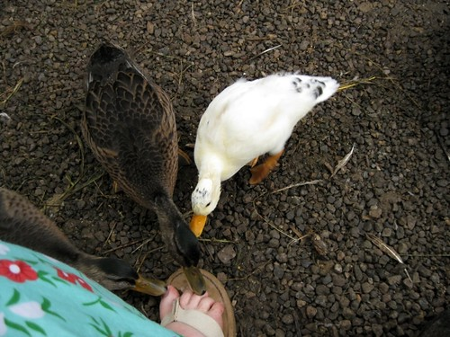 Duck Pedicure by elizabeth's*whimsies