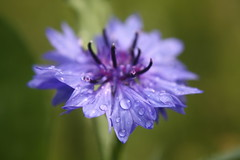 After the rain (X'ian) Tags: flowers summer rain fleurs sommer pluie blumen zomer regen bloemen et