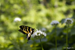 Tiger Swallowtail Butterfly (* Ian Rogers *) Tags: life wild black animals yellow butterfly washington mt wildlife tiger mtwashington mount swallowtail mountwashington tigerswallowtail yellowbutterfly tigerbutterfly yellowandblackbutterfly tigerswallowtailbutterfly