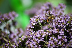 Bumble Bee and Oregano flowers.