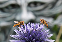 Big Brother Is Watching You :-) (alphazeta) Tags: garden mine globethistle greenman echinops hoverflies wonderfulworldofmacro