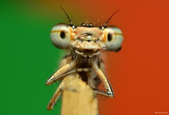 ~The United Colours Of Damselfly~ (Eddie The Bugman) Tags: macro interesting 5 explore damselfly odonata zygoptera commonbluedamselfly extensiontubes holmepierrepont nikkor60mmmicro sb900 nikond7000 edwardnurcombe wildlifeonthegothebugman