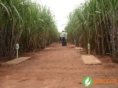 DIA-DE-CAMPO - UNIALCO (AgroDon) Tags: brazil plant land ethanol etanol ethanolplant sugarcanesugar agrodon pmgca