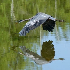 in-flight reflections (aokcreation - part-time) Tags: reflection green bird nature water animal closeup bokeh wildlife ngc npc greatblueheron birdwatcher sony350 naturethroughthelens thewonderfulworldofbirds blinkagain bestofblinkwinners blinkagainsuperstars blinksuperstars