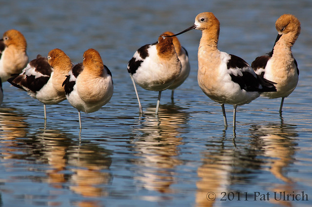 Flock of Avocets