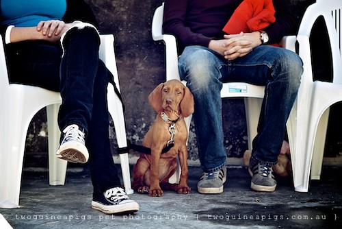 Hungarian or Magyar Vizsla by twoguineapigs pet photography