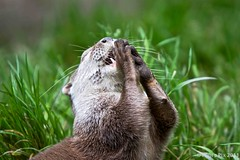 """""""O Lord, please help me catch lots of fish"""" (Canonpauls) Tags: grass animal closeup tooth fur whiskers otter paws lutralutra ef70200mmf28lisusm lutra sooc europeanotter eurasianotter"""