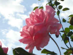 Rosa (J S Paludetto) Tags: roses for everyone rosesforeveryone