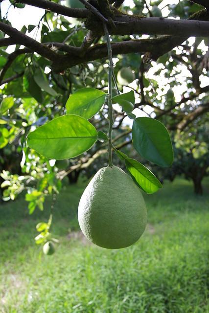 優等的文旦柚子的模樣