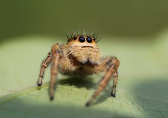 Things are Looking Up! (DrPhotoMoto) Tags: northcarolina picnik jumpingspider richmondcounty ellerbe abigfave