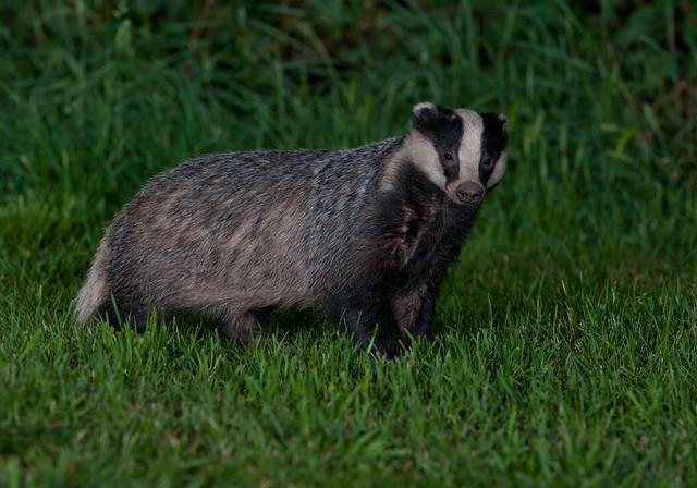 badger 17