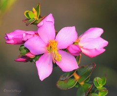 MicroliciaSp_5139Web (Marcelo Pirajá) Tags: flora plantas flôres pndachapadadimantinabahia microliciasp