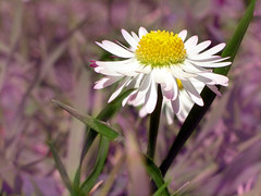 Per qualche giorno nei prati...... (..:*  *:..) Tags: white flower grass prato margherita presto torno pratolina