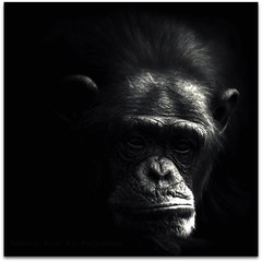 I Don't Like Mondays! (Samantha Nicol Art Photography) Tags: portrait white black art dark square monkey mono key low bored chimpanzee samantha monday unhappy chippy nicol